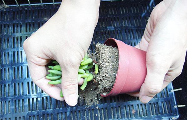 ②苗を抜いて土をほぐします。  ポットから抜く時は多肉植物を優しく支えるように持ち、傾けて抜きます。無理やり引っ張ったりはしないようにしましょう。土が固く、抜けにくい場合はポットをトントンと軽く叩くなどして隙間を作ると抜けやすいでしょう。
