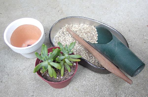 植え替えに必要なもの ・用土  用土は水はけのよいものを使います。手軽に使えるものは、市販の「多肉植物用の土」がよいでしょう。園芸店、サボテン・多肉植物専門店、ホームセンターなどで取り扱いがあります。 水はけのよい土は、水を与えた時にさーっと流れ出ます。鉢の上のほうに水が溜まり、時間をかけてじわじわと染み込まれていくような土はあまりよくはないでしょう。    ・割りばし・ピンセット  多肉植物の植え替えの際に、あると便利なのが割りばしやピンセット。細かい作業や、土を中まで入れるのにあると便利です。ピンセットは葉と葉の間に土が入ってしまった時にも使えます。