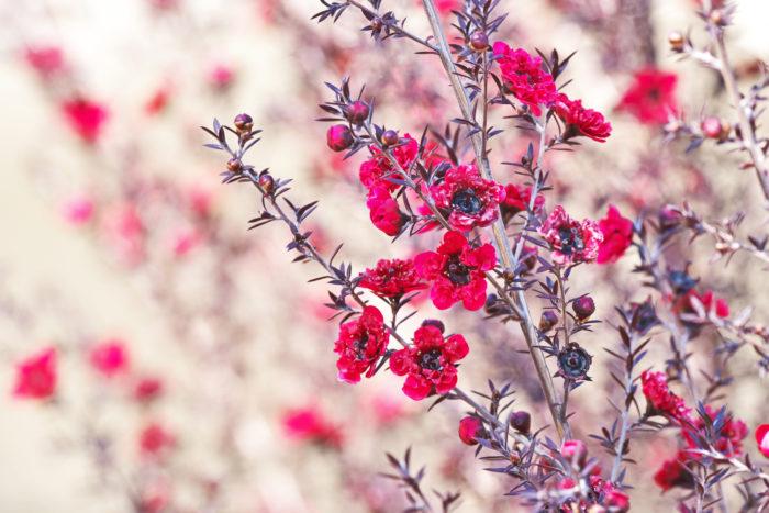 ギョリュウバイは、よく生垣などに植えられ、赤やピンク、白の梅に似た花を咲かせます。花付きがとてもよく、枝いっぱいに花を咲かせます。樹高が低く、鉢植えや生垣など、色々なシーンで利用されています。  耐寒性はある程度あり、少しの霜くらいなら耐えることができますが、決して強いわけではないので、地方によっては鉢植えにして冬は室内で管理した方が良いかもしれません。