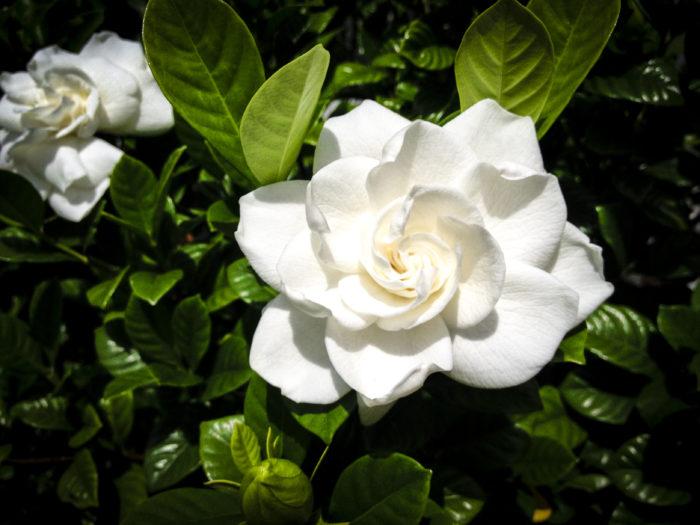 1m~5mくらいの常緑低木で葉はつやつやしていて葉脈がはっきりとしています。最初白い六弁花が咲きだんだん黄色く、そして茶色く変色していきます。花からはとても甘い香りがします。  花は3~4年経ってからでしか咲きません。秋になると橙色の実がなり熟しても口が開かない=クチナシと呼ばれています。山吹の 花色衣 主や誰 問へど答へず くちなしにして(秋が過ぎ、冬が来ても一向に口を開けない)という歌が由来の原点ともいわれています。花もちはよくありませんが香りを楽しむ夏の花として親しまれています。  クチナシの実は天然着色料として使われており、おせちの栗きんとんや草木染に使われたりしています。また、花はその香り高さから虫が寄り付きやすいので前もって対策しておくことをおすすめします。