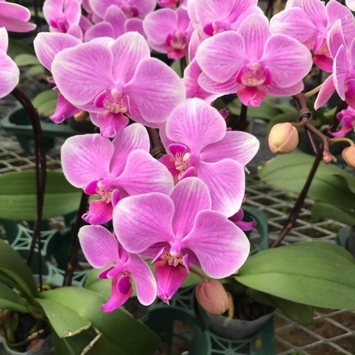 「幸福が飛んでくる」を意味する花言葉を持つため、お祝い事や引っ越しなどに贈り物としてよく用いられます。  胡蝶蘭(コチョウラン)とは、その名の通りランの仲間で、花の色は白、ピンク、黄色などがあります。  熱帯地域が原産のため、寒さに弱い植物になります。そのため育てる際には注意が必要です。
