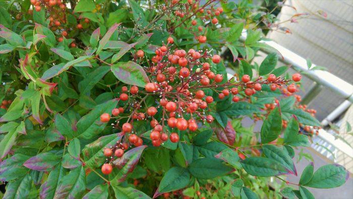 南天の赤い実と葉は、お正月に欠かせない縁起物です。  古典的な園芸品種として知られ、現代でも庭木、盆栽として愛され続けています。初夏の開花から冬の紅葉、結実まで長く鑑賞できるのが魅力です。  「難(ナン)を転(テン)ずる」にかけて、南天は昔から厄除け、幸運を招く木として好まれてきました。  料理に南天の葉と添えるのはそのなごりです。また、南天から削り出した箸を使うと運が上向くとされています。  成長がゆっくりなので時間はかかりますが、南天を大きく育てて自前の箸を作ってみてはいかがでしょう。