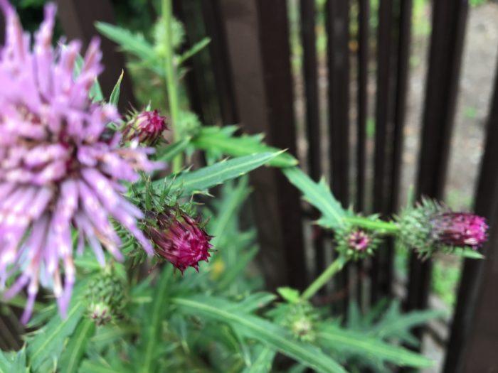 アザミといえばその鋭いトゲが有名な日本の代表的な野草のひとつです。 名前の由来も綺麗な花に近づくと葉のトゲにさされることから、あざむくというのが転訛した説と、アザは昔はトゲの意味でトゲのある実から来たと言う説、アザムは傷つけると言う意味で、アザムが転化してアザミになったなどいろいろあります。