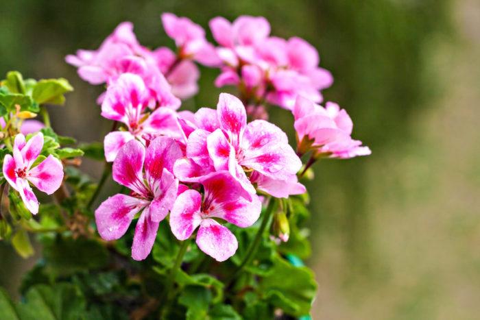ゼラニウムは、真冬と真夏以外は花を咲かせてくれる初心者向けの植物です。花は鮮やかな色が多く、花だけでなく香りも楽しむことができます。種類によっては葉に模様が入るものがあり、カラーリーフとしても人気があります。  ゼラニウムは条件が合えば長期間花を咲かせてくれます。霜に当たると枯れてしまい、気温もマイナス5度以下はだめなので、冬には室内で育てる必要があります。