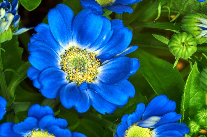 シネラリアは、年始頃からカラフルな花をたくさん咲かせます。種類によって2cmほどの小輪のものから、8cmほどにもなる大輪のものがあります。花色は黄色以外はほとんどの色がそろっていて、蛇の芽のような模様になるものもあります。  シネラリアは日光を好む植物ですので、日当たりの良い場所で育てましょう。種から育てる場合も苗を購入して育てる場合も11月いっぱいまではベランダなど、屋外の日当たりのよい場所で育てましょう。