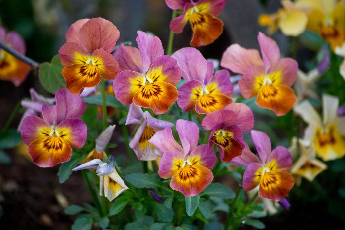 パンジーとビオラは、秋冬のガーデニングの定番ですね。花色も多く、花期も長いパンジーとビオラは、花つきも良く、初心者でも簡単に育てることができます。花の種類や大きさが豊富なので、様々な使い道があります。  気を付けるポイントは、しっかりと日光に当てること!しっかりと日光に当たっていないと細くひょろひょろに育ってしまいます。花は咲き終わったらしっかりと花がらを摘んでおきましょう。