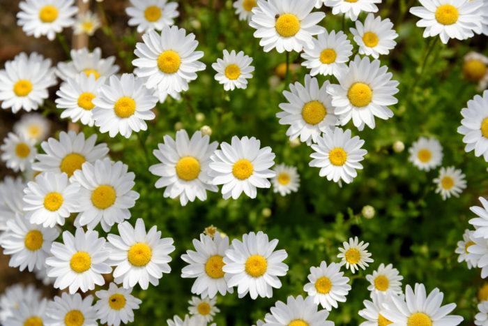 クリサンセマムは、別名「ノースポール」とも呼ばれる植物です。元気よく頑丈で、冬のガーデニングの定番の植物です。クリサンセマムは、日光さえ当たっていれば霜が当たっても大丈夫な植物です。庭でもプランターでも安心して育てることができます。  春先からは葉が伸びすぎてしまうので、刈りこんで風通しを良くしましょう。蒸れやすく、乾燥には強いので水のやりすぎには注意しましょう。夏の高温で枯れる秋蒔きの一年草です。