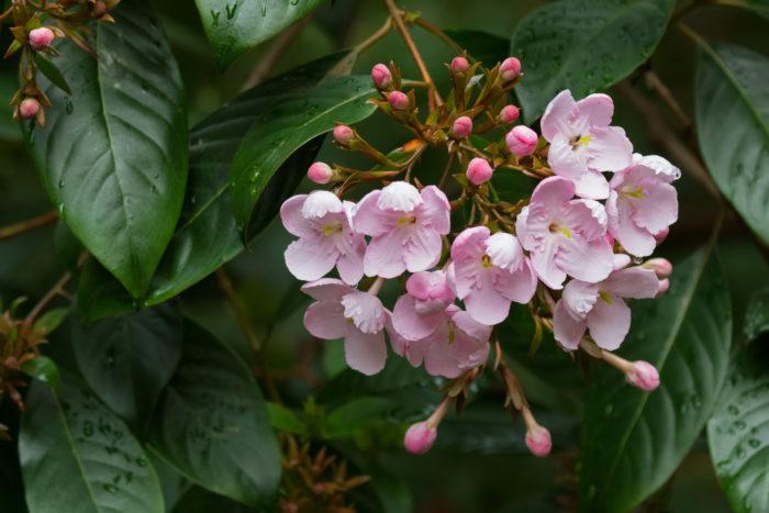 ルクリアは、別名「アッサムニオイザクラ」とも呼ばれ、桜のような5枚の花びらの花を咲かせ、一株で部屋中が甘い香りになるほどの香りがあります。花色はピンクや白などがあります。  ルクリアは寒さにも暑さにもあまり強くない植物です。管理が難しいため、ずっと育てるには少し難しい植物です。多湿に弱く、日当たりが良い場所だと葉が傷んでしまいますので、半日陰が栽培には適しています。