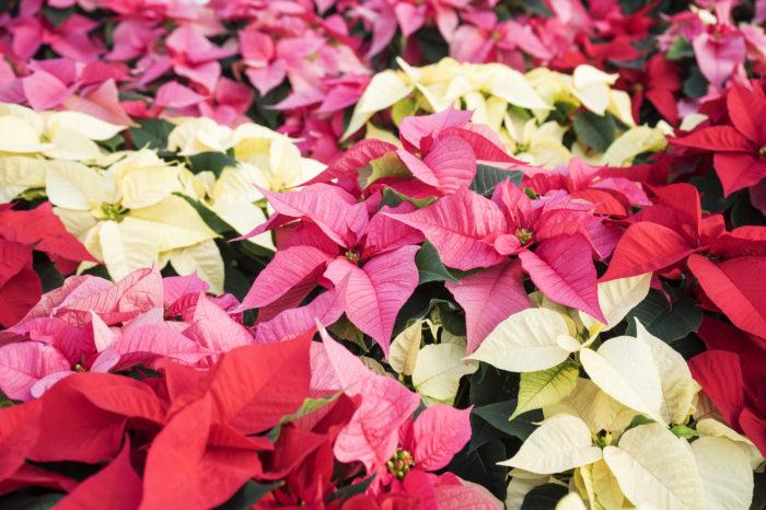 プリンセチアはポインセチアを品種改良してうまれたピンク色の品種です。色のかわいさから、ポインセチアだけでなくプリンセチアもよく出回っています。  ポインセチアと同じく寒さには強くありません。室内で育てましょう。