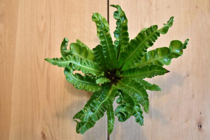 アスプレニウムはシダ植物の一種で、日本にもオオタニワタリといった品種が沖縄を始めとした温暖な地域に自生しています。  葉が特徴的なものが多く、波打った葉をもつエメラルドウェーブなどが園芸店などでよく販売されています。  シダ植物なので耐陰性が高く、トイレに置くことが出来ます。  寒さに弱い傾向があるので、冬場はなるべく暖かい環境に置きます。また、湿潤な環境を好むので、常に土が少し湿っている状態が好ましいです。
