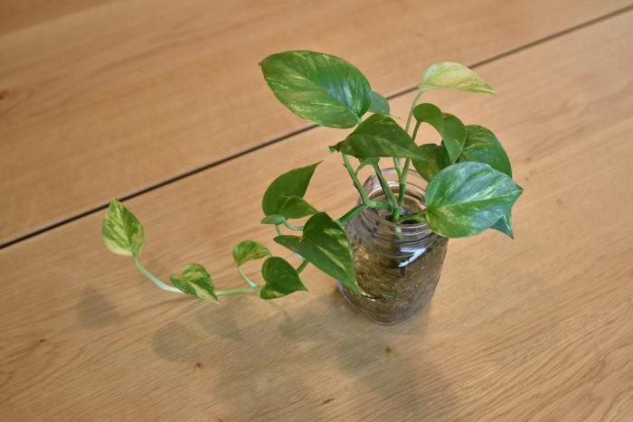 ポトスはサトイモ科に属する熱帯植物です。日本で育てるとポトスの葉は小さいですが、本来はモンステラ並みの大きな葉に育ち、葉に切れ込みが入ります。  サンスベリア同様に空気清浄能力の高い植物として知られており、お部屋に飾っているという方も多いのではないでしょうか。  また、斑入りの種類も多く、愛好家も多いです。  水挿しで育てる事もできるので、剪定したポトスを瓶やコップなどに水を入れて置いておくと発根します。
