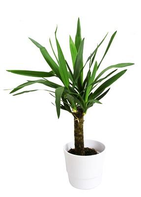 ユッカ  仕事の発展への願いも込めて「発展の木」ともいわれているユッカ。ユッカの尖った葉は邪気を払い魔よけの効果もあるそうです。