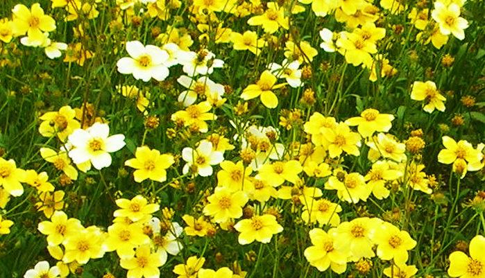 ウィンターコスモスは、秋から春にかけて咲く植物です。コスモスという名前がついていますが、咲き方が似ているためにこの名前がついています。夏越しも特に難しくはなく、冬のガーデニングで一度は植えたい植物です。 日当たりが好きで、乾燥に強い植物です。霜に当たっても枯れることはありませんが、強い寒気にあうと元気がなくなり、花が咲かなくなります。気温が上がればまた咲きます。日に当たらないと花が咲かず、だんだんと弱っていき、枯れていってしまいます。