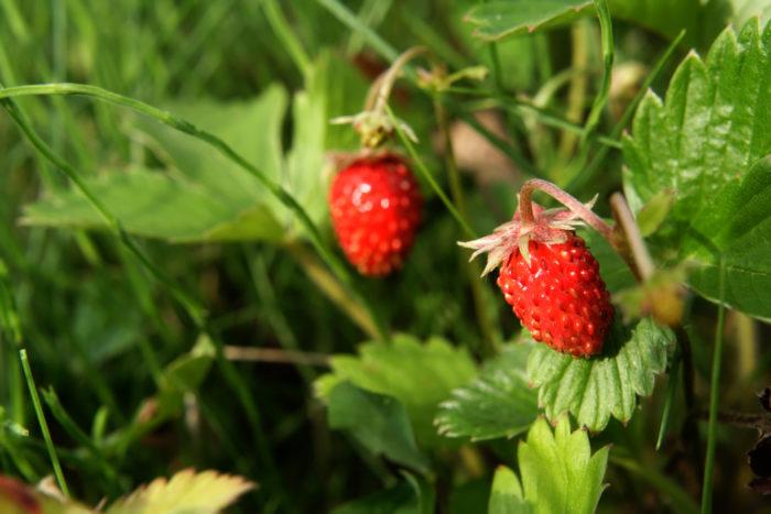 ワイルドストロベリーはイチゴの仲間で、匍匐枝で横に広がっていきます。半日陰を好み、広がる力は強いため放っておくと他の植物を駆逐してしまうこともあります。  ワイルドストロベリーは、小さいですが食用の甘い実をつけ、食べられるグランドカバーとして利用されています。乾燥させた葉はハーブティーとしても利用されます。  ワイルドストロベリーは、古くから中世ヨーロッパでは、茎の部分は傷の治療に、葉や根の部分は下剤として用いられていたそうです。