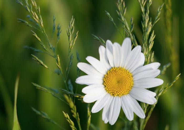 カモミールはハーブティーなどにも使われることの多いハーブです。「カミツレ」という名前でも知られ、中でも草丈の低いローマンカモミールはグランドカバーとしてもよく利用されています。花からはリンゴの香りがします。  カモミールは、コンパニオンプランツとしても良く利用されている植物です。様々な植物のコンパニオンプランツとして利用されていることから「植物のお医者さん」とも呼ばれ、弱った植物のそばにカモミールを植えると元気を取り戻すとも言われています。  また、カモミールは「マザーズハーブ(母の薬草)」と言う名前でも親しまれています。