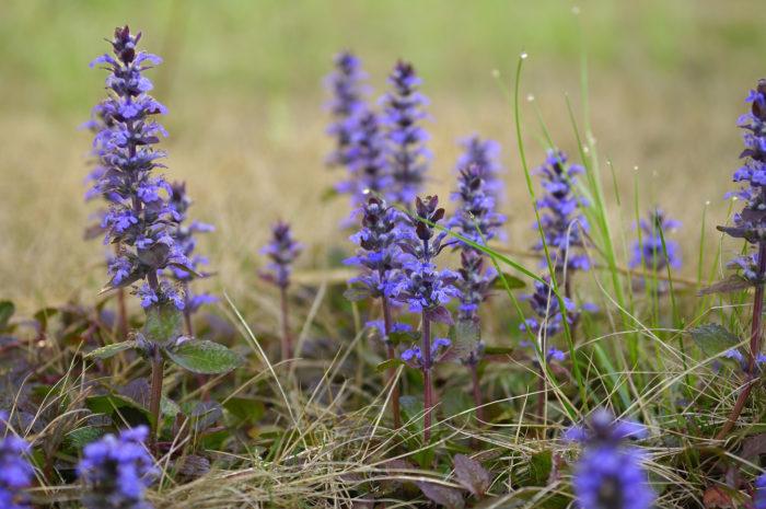 アジュガは日陰に強く、寒さにも強い植物です。地面に沿うように葉が開きますが広がりすぎることはなく、グランドカバーの中では比較的おとなしい種類です。春になると紫やピンクの花を咲かせます。  アジュガは、現在は主にハーブとしてではなく観賞用として栽培されています。