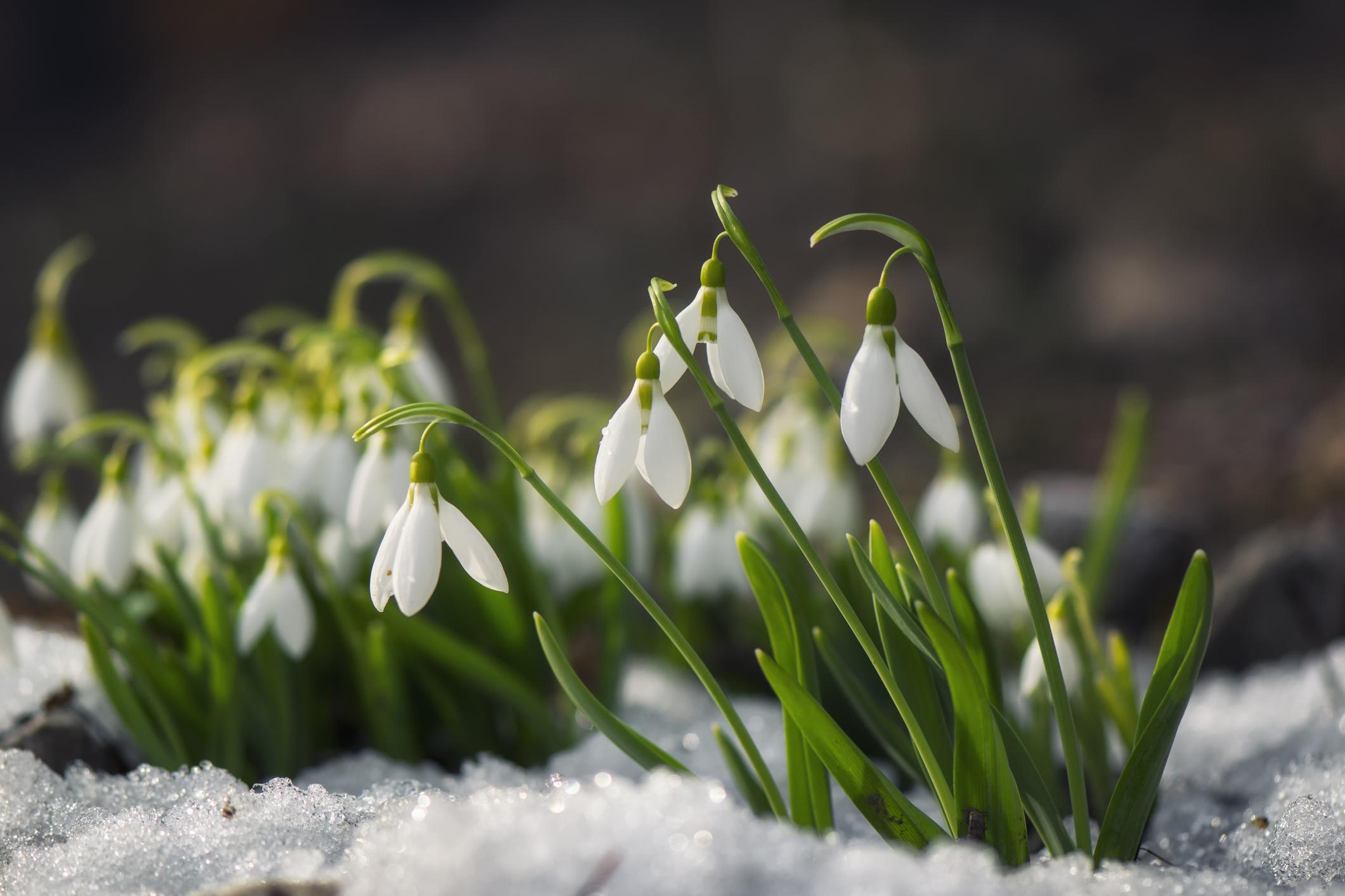 スノードロップは、雪がのこるほどの寒い時期から可愛らしい純白の花を咲かせる球根植物です。スノードロップが咲くと春が近いと言われていることから、春の使者という別名もあります。朝になると花を開き、夕方になると花を閉じます。  スノードロップは簡単に育てることができ、地植えなら特別な手入れをしなくても大丈夫です。風通しの良い明るい半日陰を好みます。耐寒性に優れた植物なので、冬の暖かい部屋などには置かないように注意しましょう。