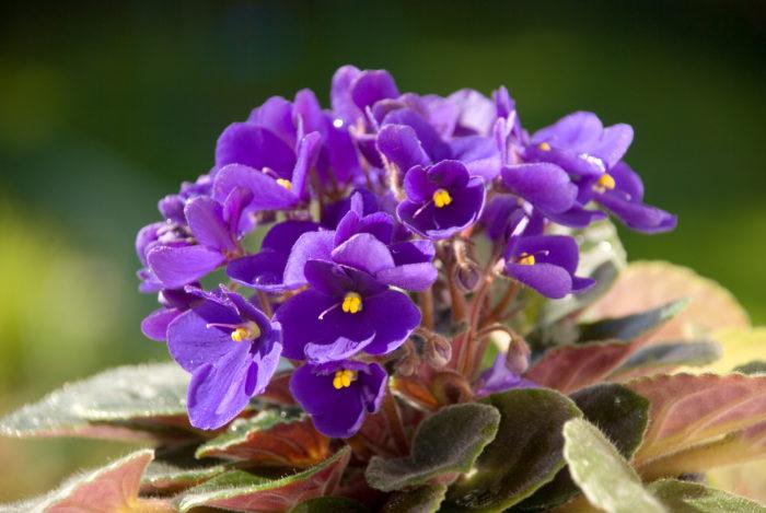 セントポーリアは青やピンク、紫などの花を咲かせます。品種改良がとても盛んに行われ、数えきれないほどの種類が存在しています。花色や花姿だけでなく、生長のしかたも様々です。  セントポーリアは、室内の日の当たる明るい場所で育て、葉っぱに水をかけないようにすることがポイントです。ですが、直射日光に当たると葉が焼けて枯れてしまうので、直射日光には注意しましょう。