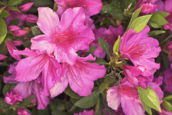 アザレアはツツジの仲間で、大輪で八重咲きの華やかな花を咲かせます。店頭で販売されているものは、温室で育てられ、寒さには弱いので室内で育てましょう。花色は白やピンク、赤などがあります。  冬に販売されますが、これは促成栽培されたもので、本来の花期は春です。そのため寒さには弱く、日光にはしっかりと当ててください。水切れには弱いですが、あげすぎは根腐れにつながるので注意しましょう。