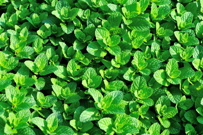 ミントはとても育てやすく、初心者でも簡単に育てることができます。しかし、ミントは繁殖力がとても強く、放っておいてもどんどん広がっていってしまいます。ミントで一面覆ってしまいたい、というのならとても便利ですが、一部だけに植えたい、という場合にはあまりおすすめしません。また、種で増えたミントは元の株より香りが弱まってしまいますので、増やす場合は挿し芽がおすすめです。  ミントにはたくさん種類があり、種類によって香りも違い、異常繁殖しないものもあります。ミントは踏まれても大丈夫な植物で踏まれると葉から良い香りがほんのりと漂います。  ミントが成長してきたらハーブティーや料理などにも活用できます。