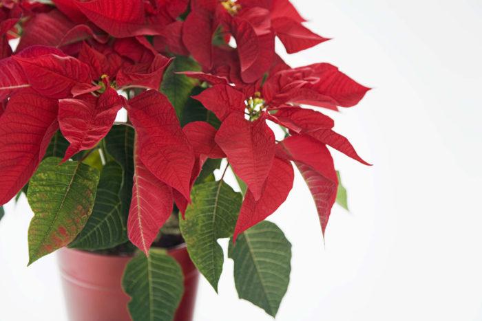 ポインセチアは、赤く色づいた花に見える部分も葉でできています。ポインセチアは冬の定番植物ですが、寒さには弱いです。霜に当たると枯れてしまうので室内で育てましょう。春以降も育てることは可能ですが、葉を赤くするのは大変です。水が切れると葉がしわしわになってしまうので注意しましょう。