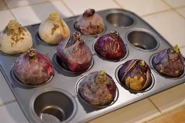 開始時期は10月から12月ということで、今回私は12月に入る直前にトライ。  球根を冷蔵庫で冷やすことで冬を擬似体験させるのだそうです。球根を水栽培の容器にセットした状態で冷やすのがどうも良いそうなのですが、そうすると冷蔵庫のスペースをかなり占領してしまいます。そこで、こんなものを発見。これはカップケーキを焼く為のトレイです。