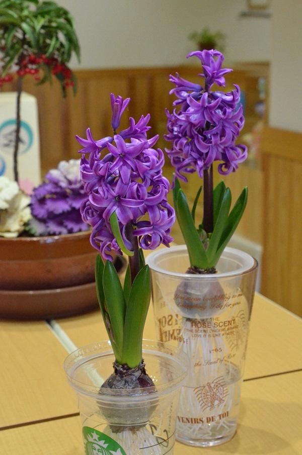 なんと1つ目の蕾の花が折れてしまうというハプニングがありました…何が起こるかわからないものです。こちらはその後に咲いてきたヒヤシンスです。無事に咲いてくれて感動!玄関中に素敵なヒヤシンスの香りが漂います。