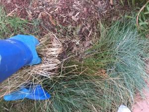 ほんとうにスポッと抜けてしまった。土の上に置いてある状態だった。