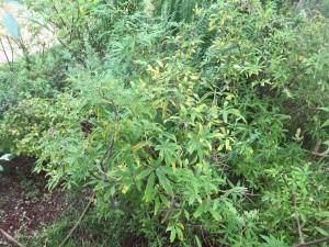 葉が黄色くなってしまったニンジンボク
