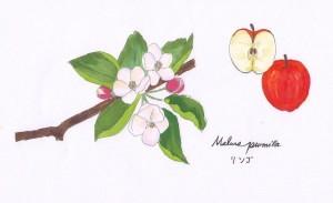 昭和46年に、青森県政100年を記念して、県の花が制定されました。現在リンゴ生産量は国内1位。全国のリンゴ生産量のうち、実に98%は青森県で生産しています。  青森といえば、りんご。リンゴといえば、青森。しかし実は青森県はリンゴの木が自生していたわけではなく、明治8年に3本のリンゴの木が政府からモモやナシなど11種類の木々と共に持ち込まれて、栽培が開始されました。最初植えられたのは県庁内で、現在同じ場所には昭和38年に植樹されたリンゴの木が12品種植えてあるそうです。  リンゴの花は桜の花と比べると花弁がふわりと大きく、鮮やかな若葉とあいまって可憐な印象です。桜が終わるとリンゴにバトンタッチするそう。「リンゴ~のはなびらが~♪」ではじまる「リンゴ追分」でも、「桃が咲き、桜が咲き、早咲のリンゴの花が・・・」と歌われています。  そんなリンゴ追分に出てくる岩木山のふもとまで、弘前市内から約16km続くアップルロード。約40万本ものリンゴが植えられているんです。春先は甘い香りで一帯が包まれる、素敵なドライブコースなんだとか。是非行ってみたい!