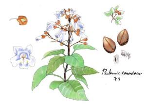 昭和30年NHKが開局30年を記念して公募した中から牧野富太郎、本田正次という2人の日本を代表する植物学者が決定しました。岩手県南部の桐は「紫桐(しとう)」と呼ばれ、名産地としても有名。寒暖差が激しいことから、光沢が強く、淡い紫色をおびた木目の美しい木材として着物箪笥や琴などの楽器まで幅広く作られています。開花時期は5月で、山にその香りで春を告げると言われています。足利時代に遠野南部家が大和から苗を移したのが始まりと伝えられています。家紋としても桐紋は多様で、140種類ほどあります。そもそも桐は古代中国で鳳凰が棲むといういわれがありました。実際に古代中国で桐と言われている植物は、現在の日本でいう「青桐」で、これは桐とは全く別なのですが、話が伝わるうちに青桐は桐とされ、皇室や朝廷の副紋として大切にされてきました。足利尊氏や豊臣秀吉なども天皇からこの紋を賜っており、武士に人気でした。現在でも桐花紋は菊のご紋についで高貴な紋とされています。私たちの身近なところでも、500円玉の裏面や、パスポートに印刷されていますね。それが桐と知らなくても、そのイメージは馴染みがあると思います。