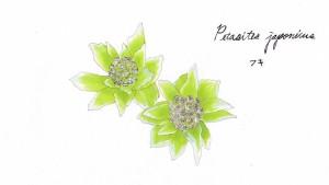 岩手県同様、昭和29年NHKが開局30年を記念して開催した「郷土の花」事業で公募した中から牧野富太郎,本田正次という2人の日本を代表する植物学者が決定しました。キク科フキ属の多年草フキの花をフキノトウと呼びます。春先に地中際に生え、多年草のため、毎年同じ場所で見ることが出来ます。雌雄異株です。雌の株は閉じたように咲くのに対し、雄の株は小さい花がわっと咲いたように見えます。どちらも控えめで、かわいらしいです。食用としても好まれますが、一般には蕾の時期に採取しててんぷらにしたり味噌汁に入れたりして食べます。味はほろ苦く、おとなの味です。咲いてしまってからも、フキノトウ味噌などの一部加工品では食用します。秋田では「ばっけ」や「ばっきゃ」などの名で親しまれているそう。長い冬の終わりを雪解けとともに教えてくれるフキノトウは、待ちに待った春の到来を象徴する花として、秋田の人は大切に想っているのですね。  秋田蕗という種類のフキがあり、通常のフキはだいたい30~70cm程なのに対し、2mにも達する秋田蕗はフキの一種。北海道の螺湾川沿いにラワンブキという蕗が自生していますが、これも秋田蕗の一種です。秋田市仁井田地区の特産品として栽培されているそうです。 『秋田の国では雨が降ってもカラ傘などいらぬ手ごろの蕗の葉サラリとさしかけさっさと出て行がえ』と民謡「秋田音頭」でも謡われているほどです。その大きさ、茎の長さ約1.5m、茎の直径が8cmほど!さらに円形の葉は直径は1mを超えるそう。まるでコロボックルやトトロの世界!
