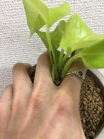 人差し指と中指の間に植物の茎を挟み込むように抑え、上からポットを掴みます。  逆さにしてポットから植物を出したとき根の状態をチェックしましょう。ポットの中でとぐろを巻くように根がはりめぐらされていたら、根の下の方の部分を手でちぎり取ります。上の面の根も詰まっていたら角を少し落とすようにします。こうすることで、植え付けたとき新しい根が生えやすくなり、植え付ける土への活着が進みます(植物によっては根が傷みやすいものもあり、根を崩さないで植え付けた方が良く育つものもあります。事前にそれぞれの性質を調べましょう)。
