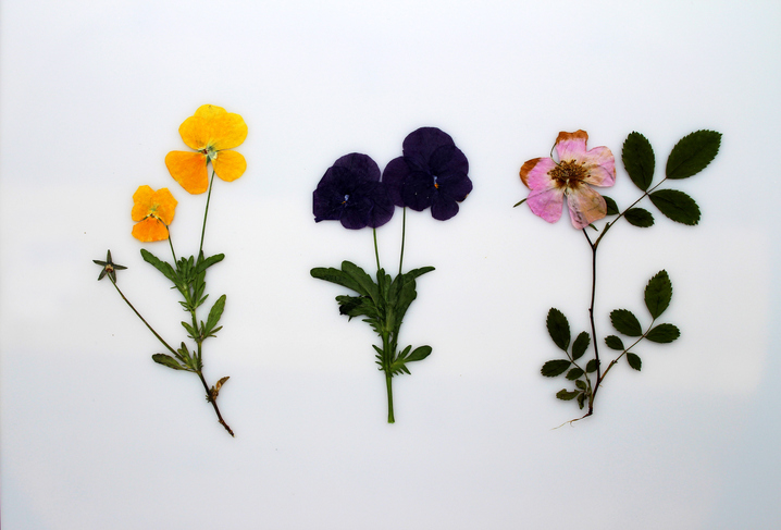 Set of dried pressed flowers