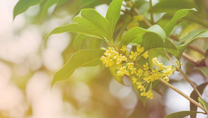 金木犀は銀木犀の変種と言われています。そのため木犀と言えば、一般的には銀木犀のことを指すとも言われているようです。  花の違い  金木犀  10月ごろにオレンジの花を咲かせます。花が密集して咲いているのが特徴です。  銀木犀  10月ごろに白い花を咲かせます。小枝の先端にひとつずつ花を咲かせているのが特徴です。金木犀に比べて花の数は少ないです。   金木犀は10月にしか見られませんが、銀木犀は年に数回花が咲くことがあるようです。  葉の違い  よく見ると葉っぱが違うようです。  金木犀  葉っぱのトゲが大きくて先端が尖っているのが特徴です。  銀木犀  葉っぱのトゲが細かく、全体的に丸みを帯びていて表面もつやつやしているのが特徴です。  香りの違い  金木犀も銀木犀もその香りが特徴的です。ただし、その強さは金木犀に強く、銀木犀が弱いとされています。銀木犀は近くに行かないと香りを感じないとも言われています。
