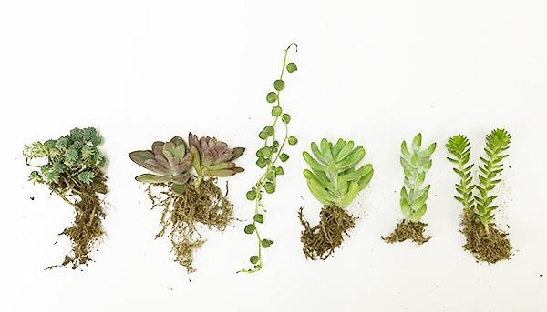 左からセダム・パリダム、エケベリア・レズリー、グリーンネックレス、セダム・乙女心、セダム・新玉綴り、セダム・グリーンペットです。