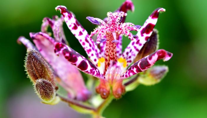 赤紫の模様のホトトギスの花