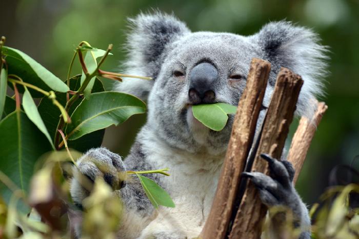 先ほどユーカリで説明しましたようにユーカリの種類は600以上といわれていますが、実際にコアラが食べるユーカリはひとつの地域で数種類のユーカリ、しかも若い葉しか食べないというのが一般的です。