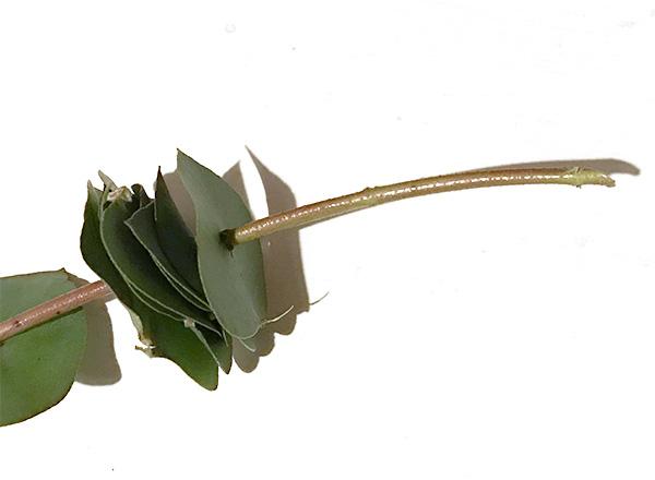 葉を枝や茎に挿すだけです。今回は葉を取ったユーカリの枝を使用していますが、他の枝でもOK。葉はドライになってからでは裂けて破れやすくなります。ドライになっていない葉を使用したほうがよいです。  枝の先端を斜めにカットし、葉を刺して通します。これを繰り返します。