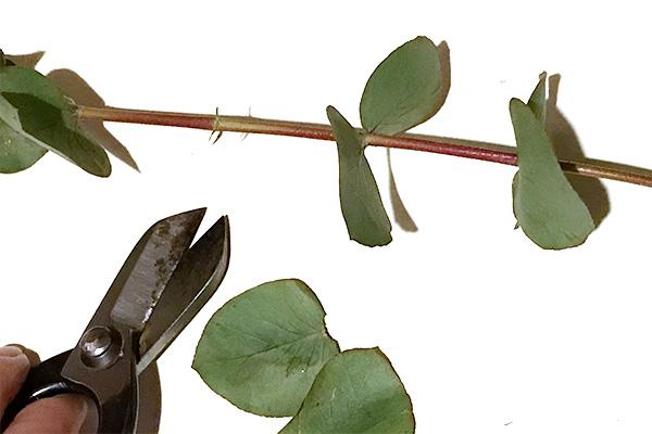 壁飾りやスワッグを作るとき束ねる部分になる枝についている葉は取ってしまいます。この葉も捨てないで使えます。