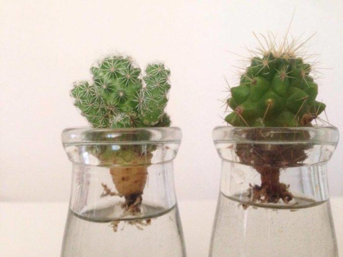 根に少し水が当たる位の水位を保ちます。この時サボテンに水が浸かってしまわないように。根腐れの原因になります。  時期によって異なりますが2~3週間で水栽培用の新しい根がでてきます。わくわくしますね
