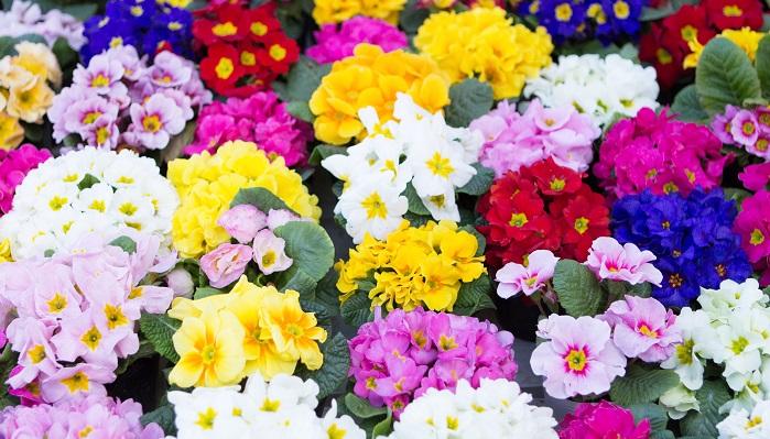 サクラソウ科サクラソウ属の多年草です。西洋さくらそう(プリムラ・ジュリアン)も含めて府の花としています。