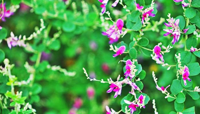 宮城県の県花も、NHK開局30周年事業にて、決定したものです。ミヤギノとは宮城野原ともいい、仙台市の北東部にある宮城野という地名あたりです。「―の露吹きむすぶ風の音に小萩がもとを思ひこそやれ」〈源・桐壺〉という歌枕にあるように、昔は萩・女郎花・鈴虫の名所があったことで有名。そのことから、ミヤギノハギを県花にと決まったようです。