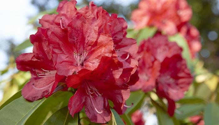 ツツジ科ツツジ属 無鱗片シャクナゲ亜属、無鱗片シャクナゲ節の総称で、ツツジと同じく有毒植物です。日野町鎌掛しゃくなげ渓谷に自生しているホンシャクナゲが有名です。昭和29年にNHKが中心となって行った全国都道府県の「郷土の花」で、公募で決定しました。