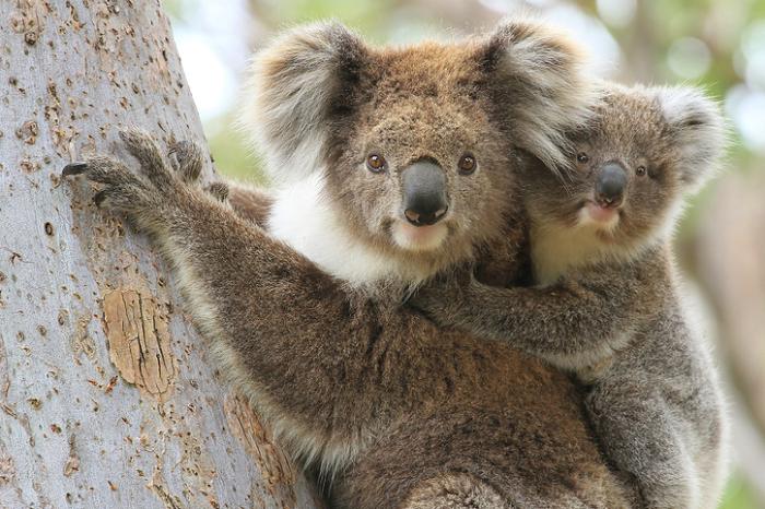 学名:Phascolarctos cinereus  コアラは有袋類双前歯目コアラ科コアラ属で現存する唯一の種で、オーストラリア東部の森林地帯やユーカリの林などに生息しています。  有袋類とは未熟な子供を産み、袋の中で育てるという特別な哺乳類のグループに属する動物です。コアラの他にカンガルーもその仲間です。  体色は背面が灰色で、腹面が白色く(成熟したオスは白い毛の生えた胸の中央にある臭腺で見分けることができます)、体長は約65cm~80cm位、体重は約4kg-15kg位だそうです。北部に生息するコアラよりも、南部に生息するコアラの方が体が大きく、体毛の長さも長いそうです。