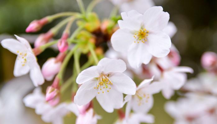 染井吉野はバラ科サクラ属の落葉高木。エドヒガンザクラと、オオシマザクラを品種改良して誕生したのが染井吉野です。遺伝子検査から、一本の木からg接ぎ木して作られたクローンの桜だということがわかっています。昭和29年にNHK、全日本観光連盟、日本交通公社、植物友の会が主催、農林省、文部省、都道府県、国鉄が後援し、「郷土の花」として、各都道府県別で募集した結果、東京都は「ソメイヨシノ」に決定しました。都として正式に決定したわけではありませんでしたが、昭和59年3月、都民などからの要望で「都の花選考会」を実地しました。他アンケートなども併せて実施し、結果「ソメイヨシノ」に正式に決定しています。