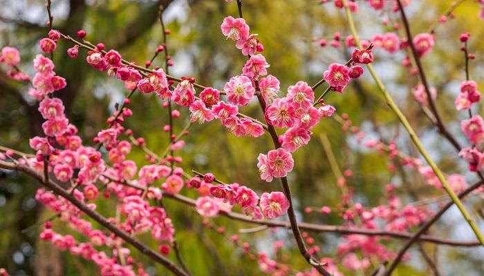 バラ科サクラ属。紀南地方を中心に古くから栽培されてきました。紀州の梅干しも有名ですよね。昭和43年の県民投票にて選ばれました。
