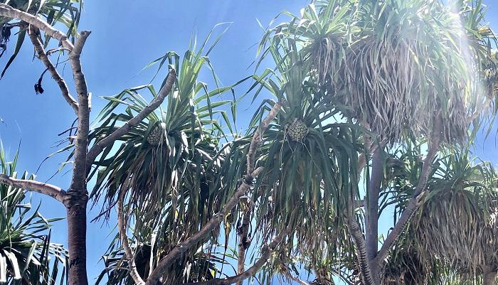 海辺に生えるタコノキ。パイナップルのような部分が種子で、海水に浮き遠くまで行ける。  川や海など水流により散布されます。果実や種子が水に浮きやすいスポンジ状のものが多く見られます。タコノキ、ココヤシや、ハマダイコンなど、海辺に生えているものが多い。