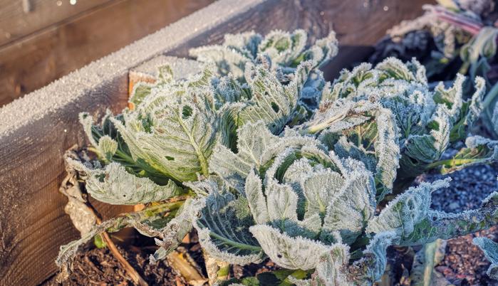 しかし、真冬の水やりは天気によって気温が下がり過ぎてしまいます。霜柱のように土の中の水分が凍ってしまっては、植物は水分を吸収することが出来ません。加えて、気温が低すぎると植物の生育も鈍るのに、水分ばかり与えても必要以上に土壌が加湿になるばかりです。そのため、真冬の水やりは天気と相談しながら行うことが重要です。 畑で栽培している場合は、1週間のうち1日でも雨が降れば水やりはさほどしなくても大丈夫(ちなみに私の水やりは、ほとんど天気にお任せ状態です)。 雨の当たらないベランダで栽培している場合でも、1週間に1度鉢底から水が出てくるまでたっぷり与えるくらいで十分でしょう(プランターの大きさ、育てている植物によってそれ以上水やりが必要な場合も有り)。その際は、できる限り天気が良い午前中に水を与えましょう。