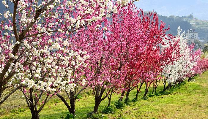 バラ科モモ属の落葉低木です。岡山は桃の産地として有名ですが、明治はじめごろより続いてきた産業です。昭和25年ごろから岡山県の花は桃の花、と言われてきたようです。